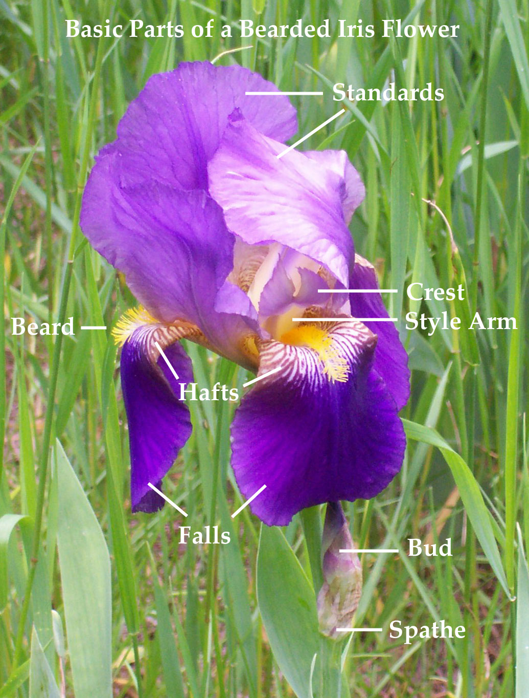 Iris basics parts of an iris historic iris preservation society iris basics parts of an iris izmirmasajfo