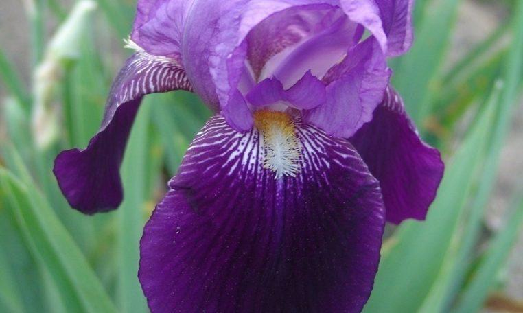 Black Beauty | Historic Iris Preservation Society
