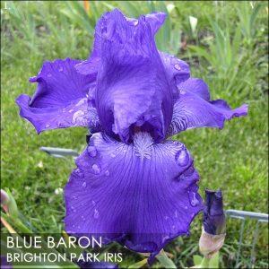 bluebaron01 BPI