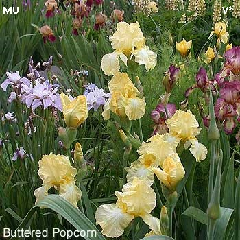 Buttered Popcorn2 - Mu