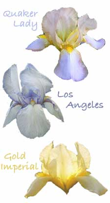 iris quaker lady, los angeles, gold imperial